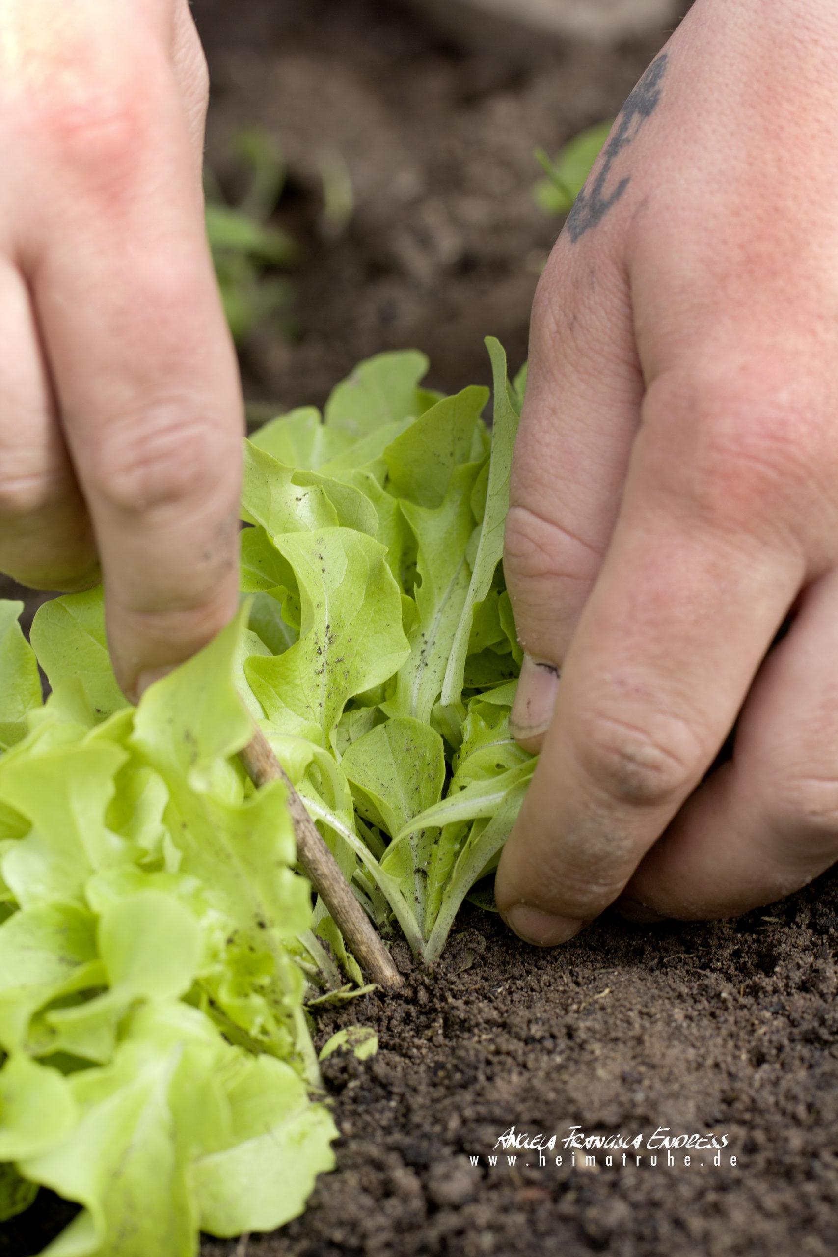 Michael pikiert Salatblättchen
