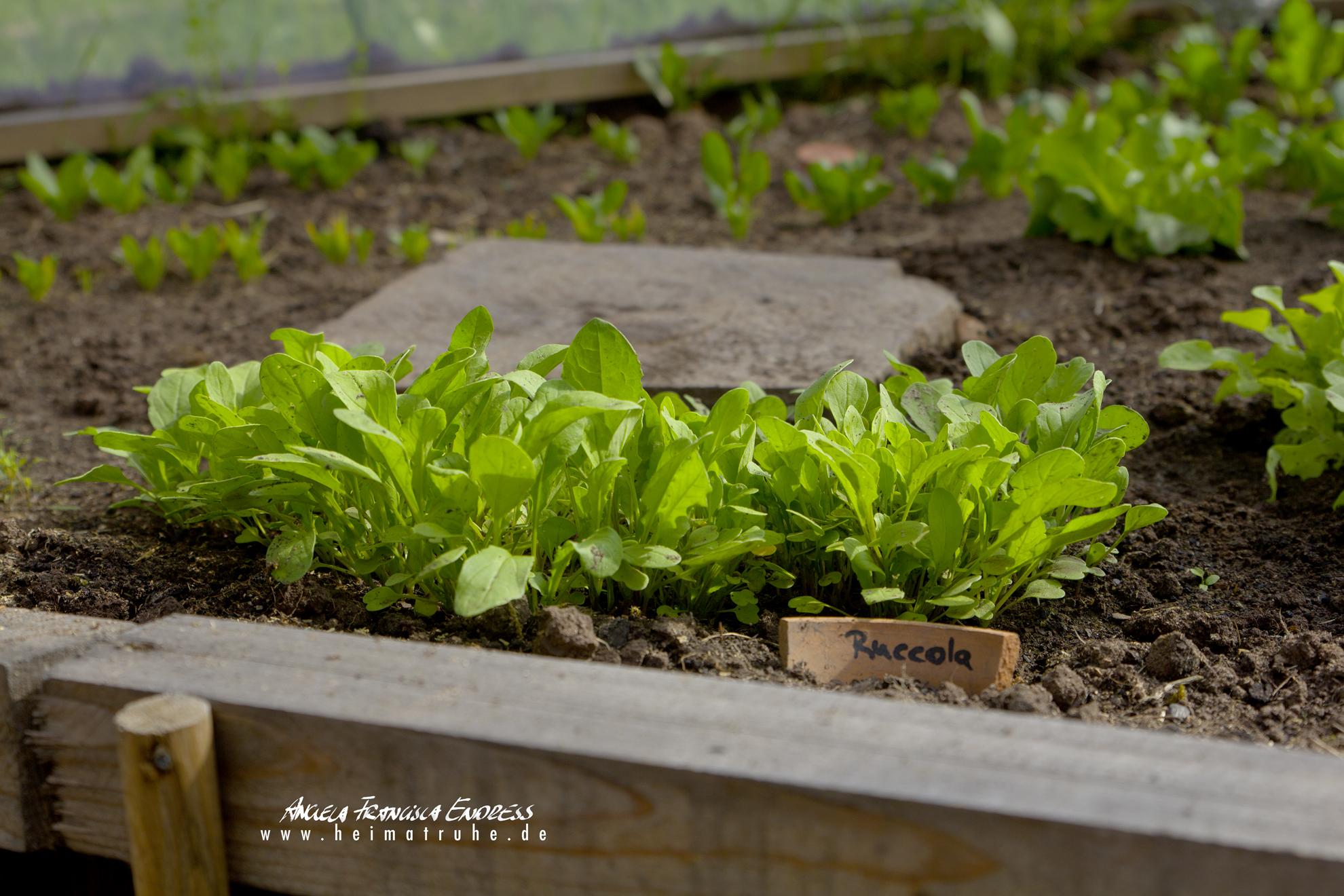 Salatpflänzchen im Beet mit Namen auf Tonscherbe