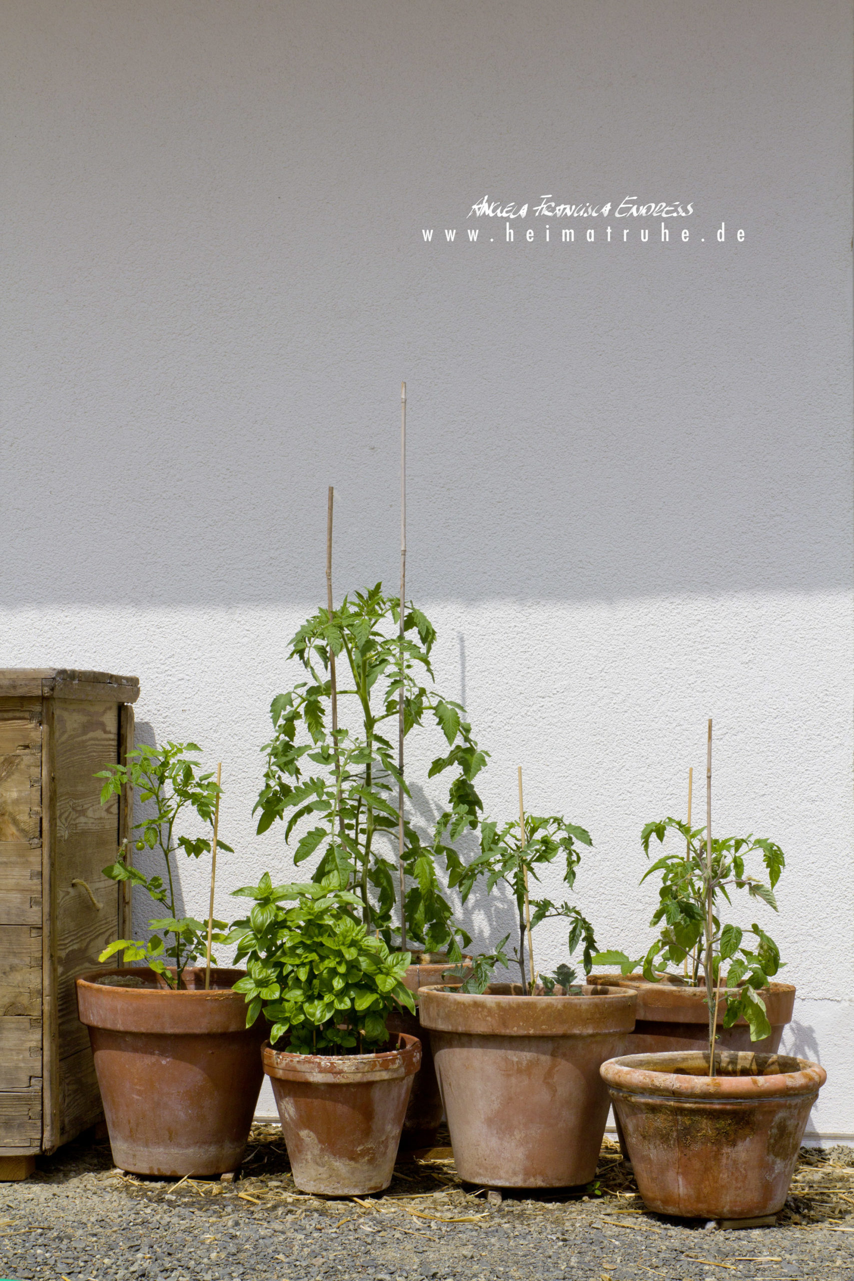 Tomatenpflanzen in Töpfen vor Zauswand