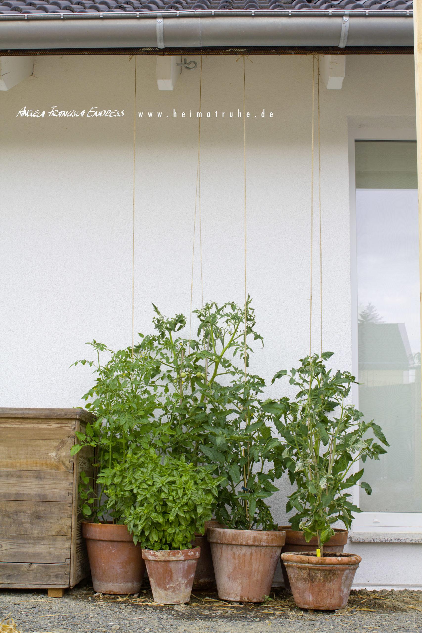 Tomaten in Töpfen angebunden unter dem Dach