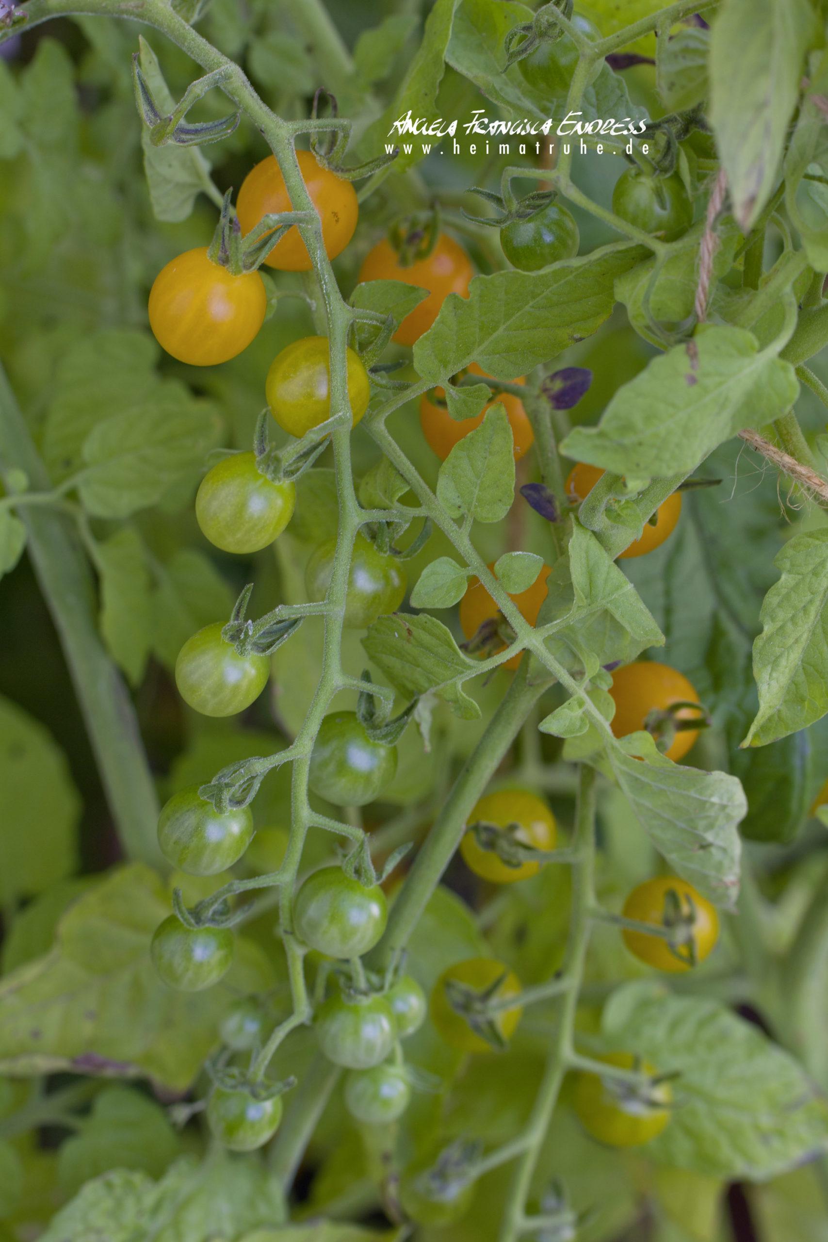 Galapagos Wild Tomaten