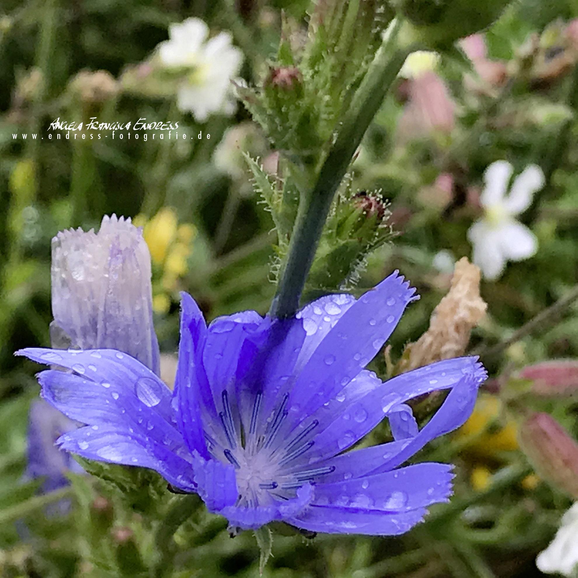 Wegwarten Blüte
